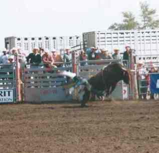 A cowboy comes off his steer, within seconds of coming out of the pen