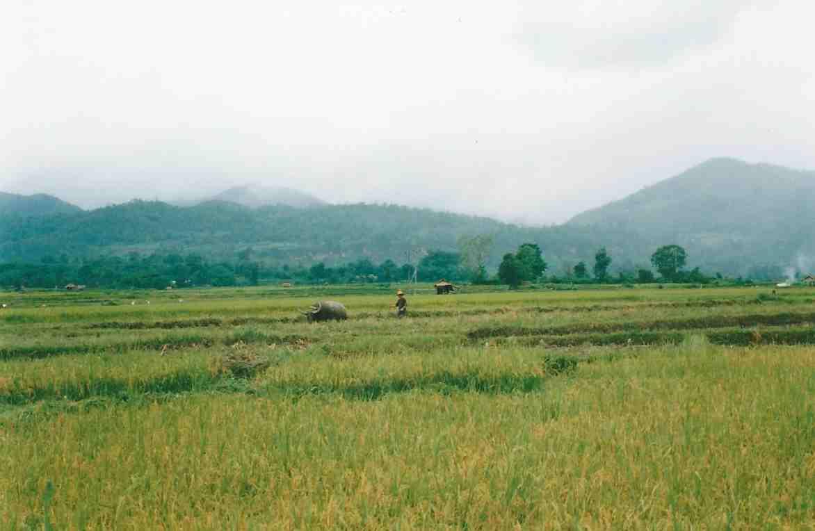 A man and waterbuffalo working in padi fields near Hsipaw.