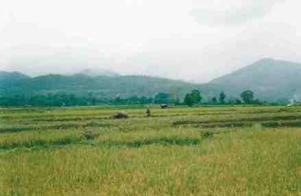 A man and waterbuffalo working in padi fields near Hsipaw.